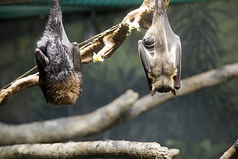 Bats, Zoo, Washington Park, Portland, Oregon, United States of America, North America