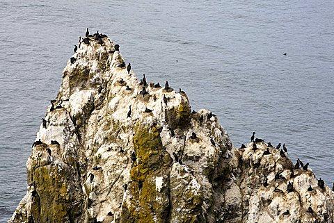 Pelagic Cormorant's nest, Yaquina Head Lighthouse, Oregon Coast, United States of America (U.S.A.), North America