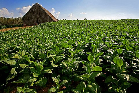 Tobacco cultivation, Vi, Vinales, Cuba, West Indies, Central America