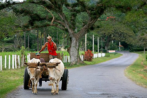 Coming back from farmwork, Vi, Vinales, Cuba, West Indies, Central America
