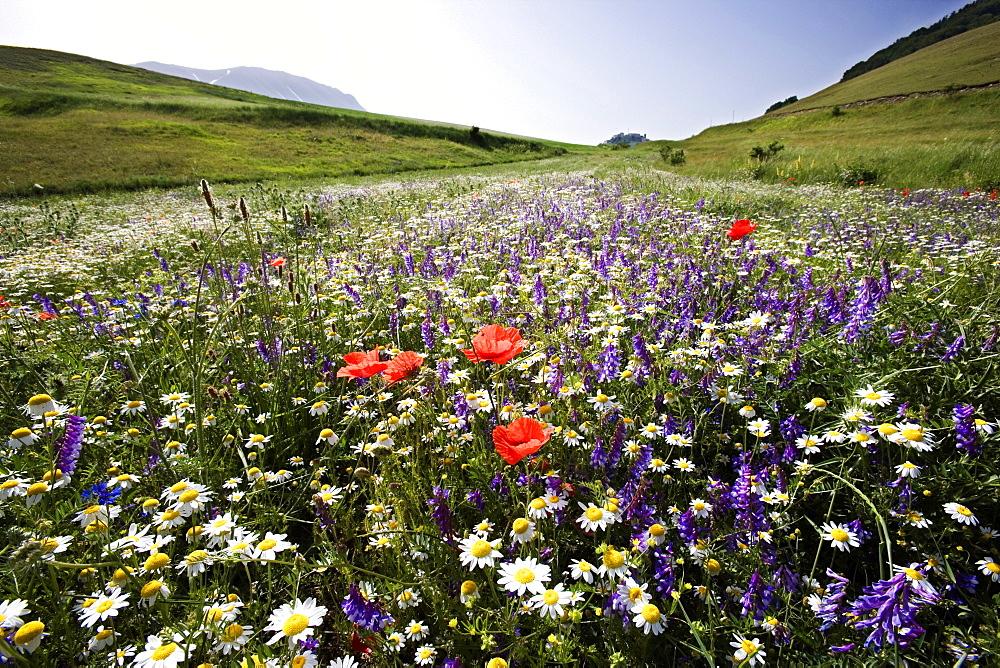 Flowers, Piano Grande, Monti Sibillini National Park, Castelluccio di Norcia, Umbria, Italy, Europe