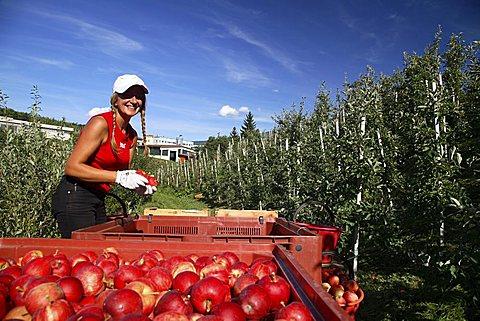 Mondial Gala apples harvesting, Trentino-Alto Adige, Italy