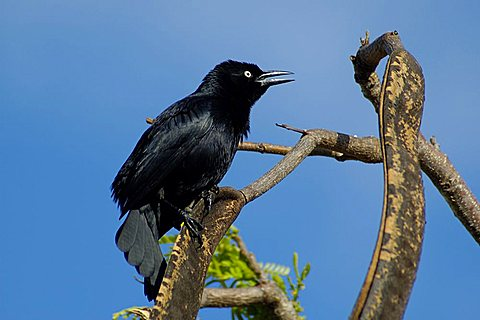 Greater Antillean Grackle, Dominican Republic, West Indies, Central America