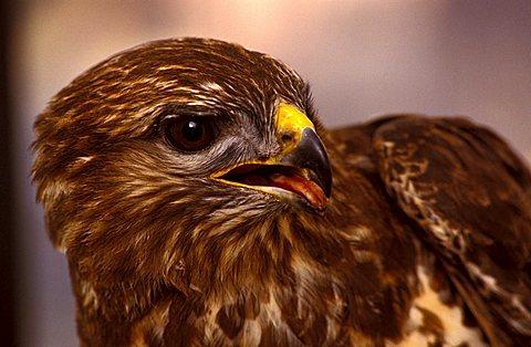 Common buzzard, Italy