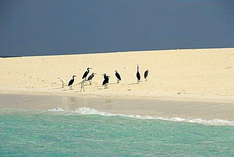 Egretta Heron, Mnemba Atoll, Zanzibar, United Republic of Tanzania, Africa