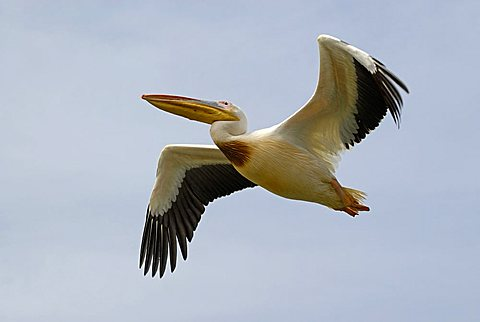 Great White Pelican, Djoudj National Bird Sanctuary, Republic of Senegal, Africa