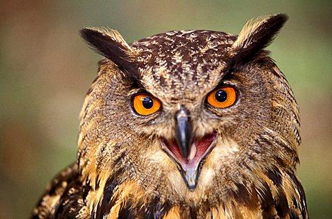 Eurasian eagle-owl, Italy