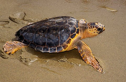 Loggerhead sea turtle, Italy