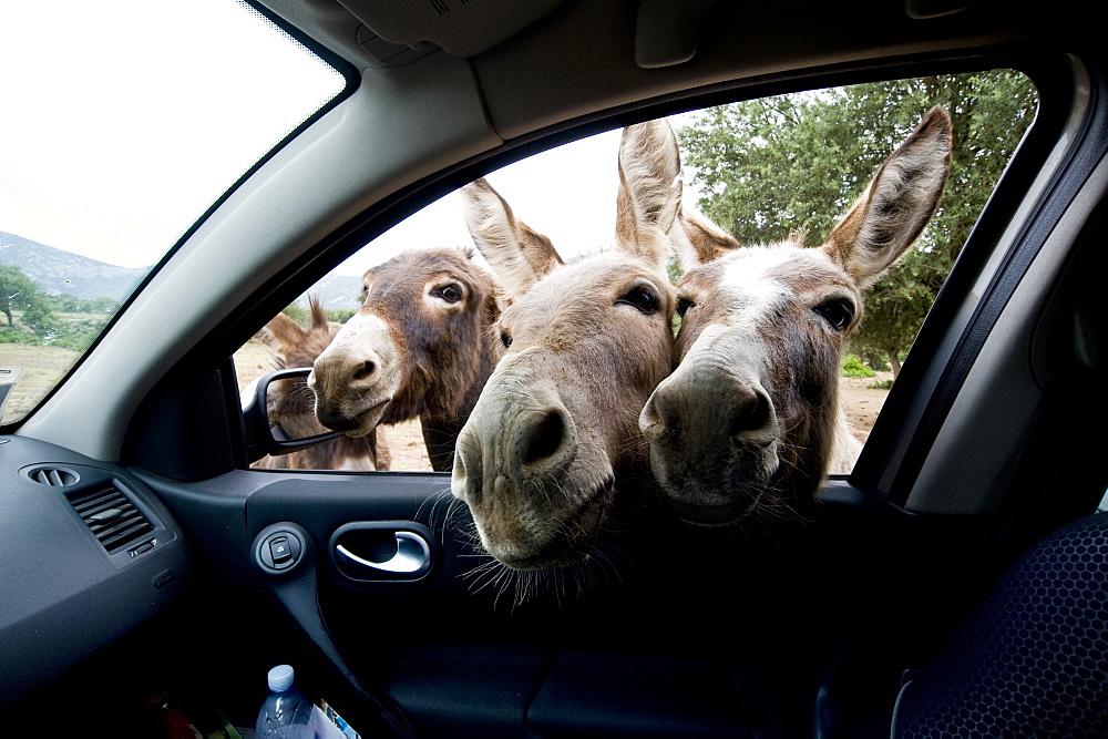 Donkeys, Baunei, Golgo, Sardinia, Italy
