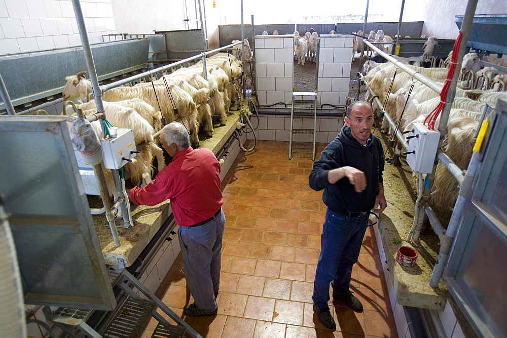 Goats milking, Pezzaviva farm, Torre Santa Susanna, Puglia, Italy