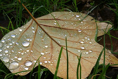 Leaf and dew