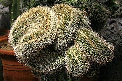 Mammillaria sp.cristata, crested cactus, cactus crestato