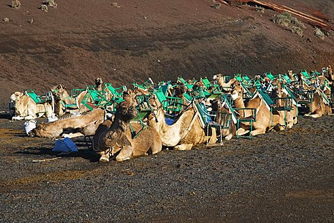 Camel caravan waiting for tourists in Timanfaya National Park, UNESCO biospherical Reserve, Lanzarote, Canary Islands, Spain