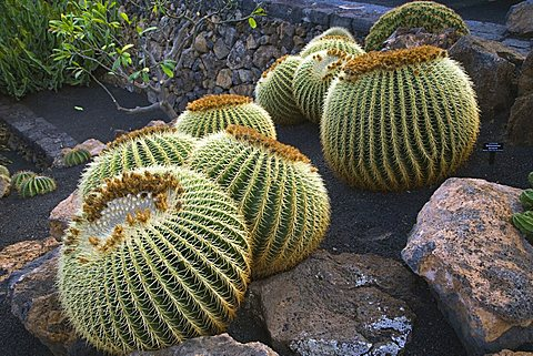 Cactus garden designed by Cesar Manrique, Guatiza, Lanzarote, Canary Islands, Spain