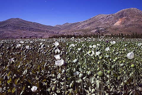 Opium-poppy field, Sögütlü, Turkey, Europe