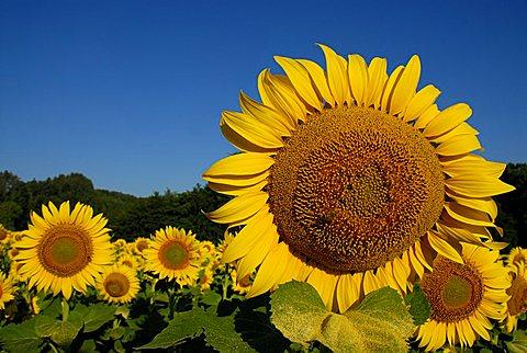 Sunflowers field, Tuscany, Italy