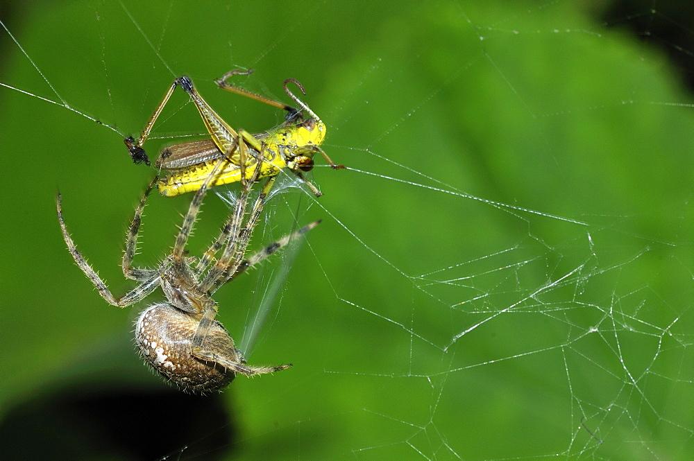 Araneus diadematus, European garden spider