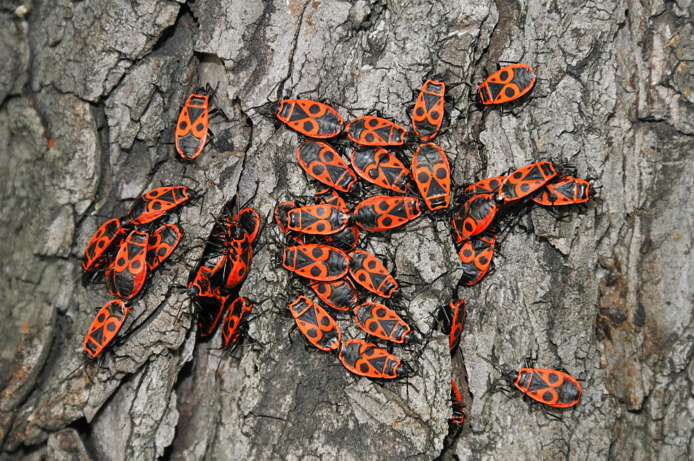 Pyrrhocoris apterus, Firebug
