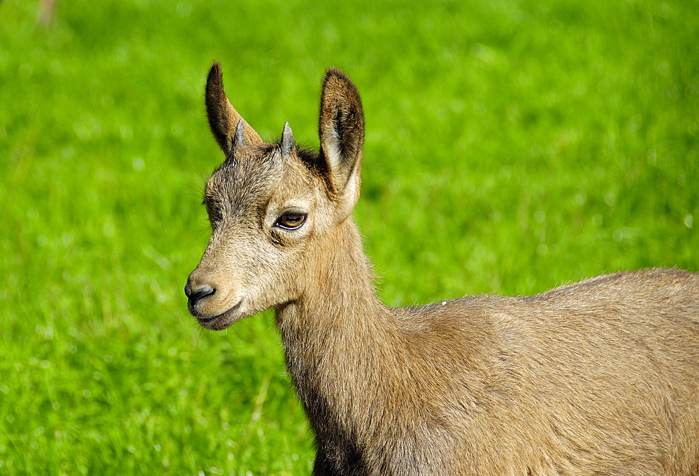 Capra ibex, steinbock