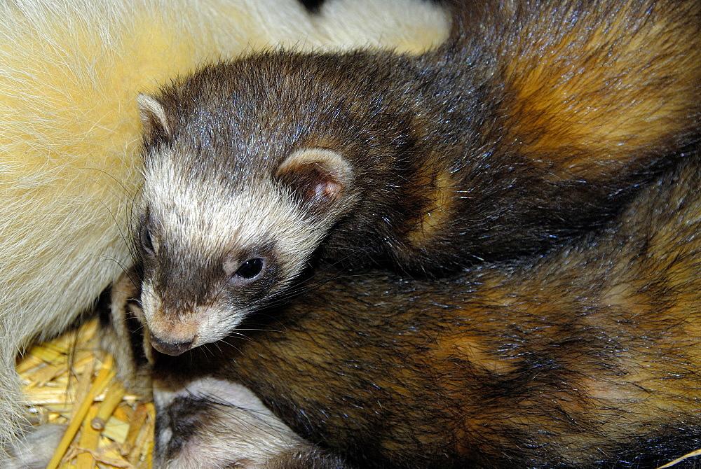 Mustela putorius, European Polecat