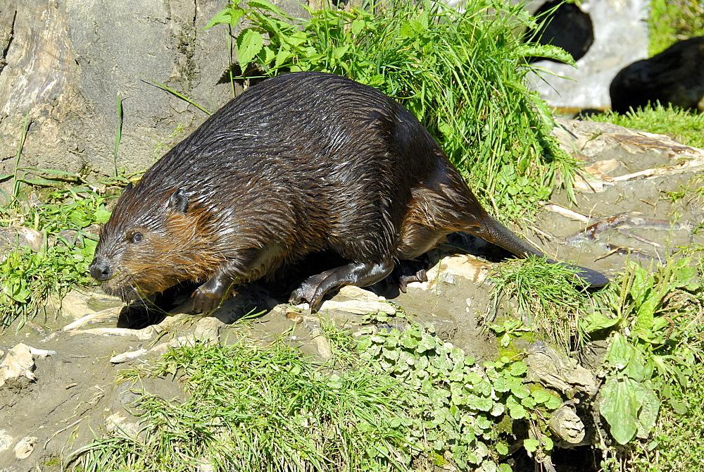 Castor fiber, European Beaver