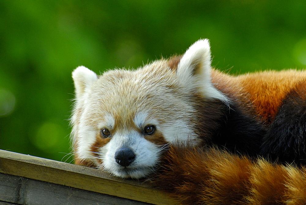 Ailurus fulgens, Red Panda