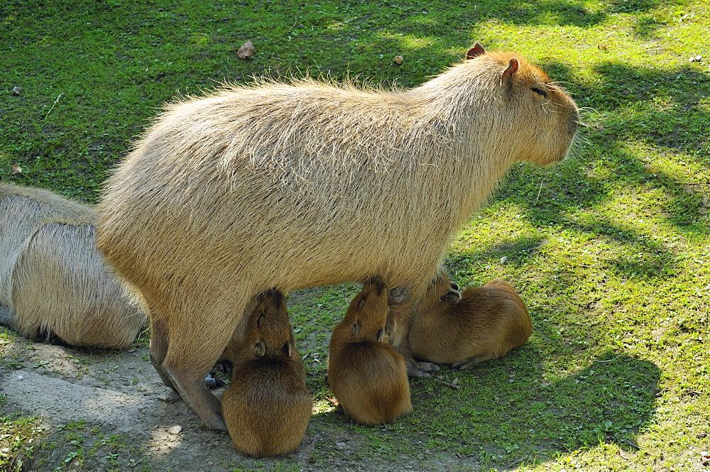 Hydrochoerus hydrochaeris, Capybara