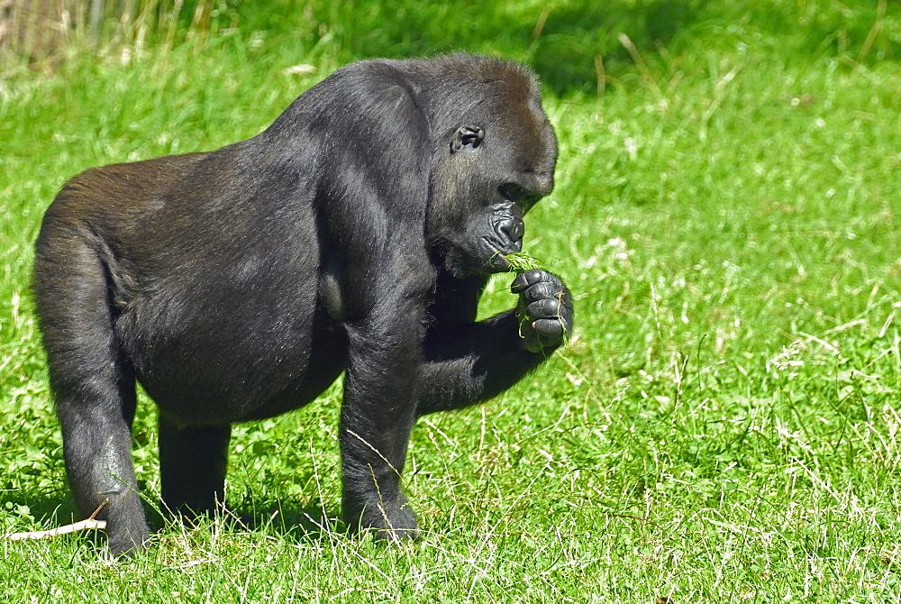 Gorilla gorilla, Western Gorilla