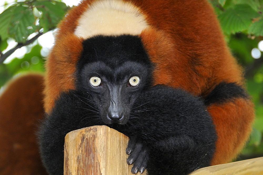 Varecia variegata rubra, Red Ruffed Lemur