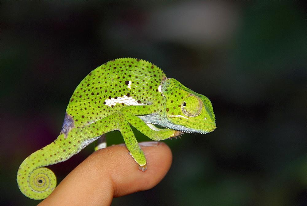 Chamaeleo chamaeleon, Common Chameleon
