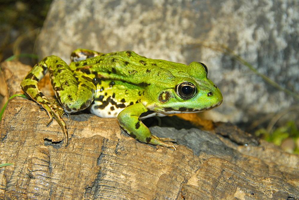 Pelophylax kl. esculentus, Edible Frog