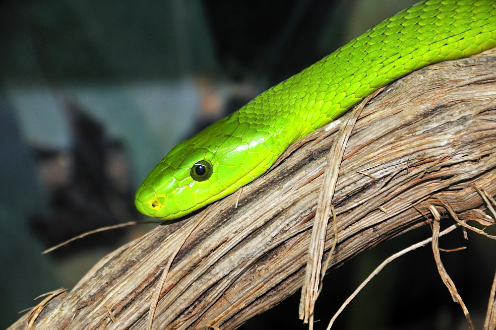 Dendroaspis angusticeps, Eastern green mamba or common mamba