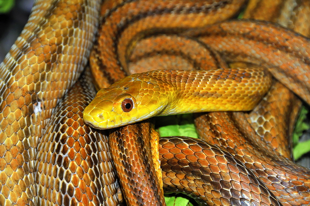 Elaphe obsoleta quadrivittata, Yellow Rat Snake