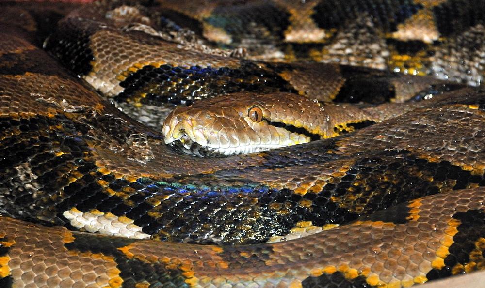 Python reticulatus, reticulated python or regal python