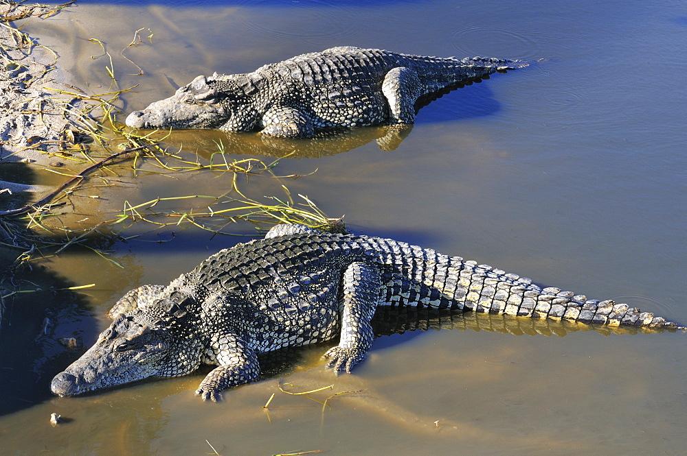 Crocodylus rhombifer, Cuban Crocodile