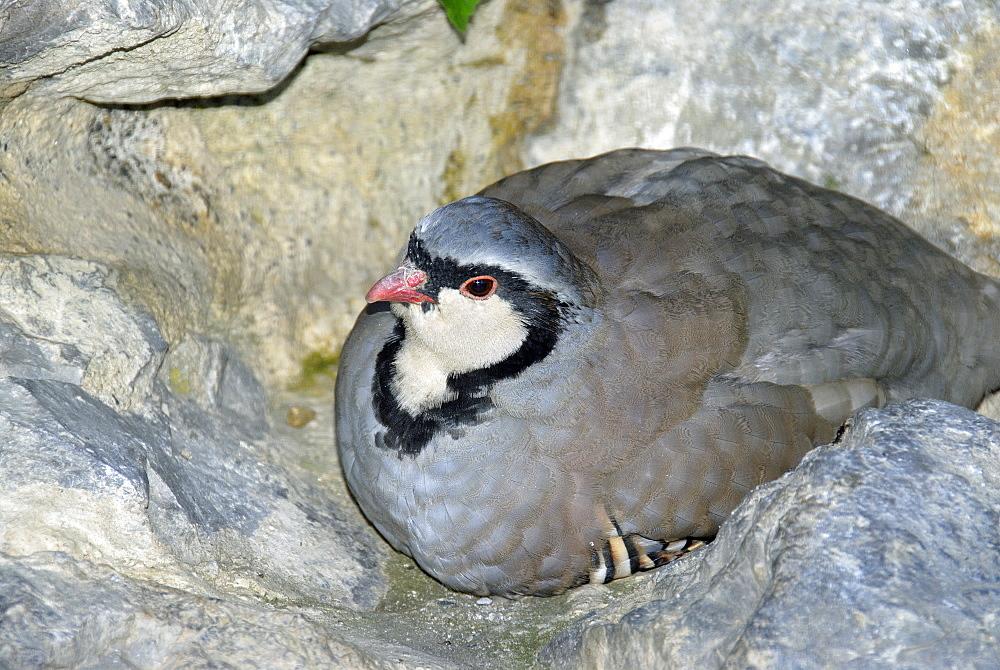 Alectoris graeca, Rock Partridge