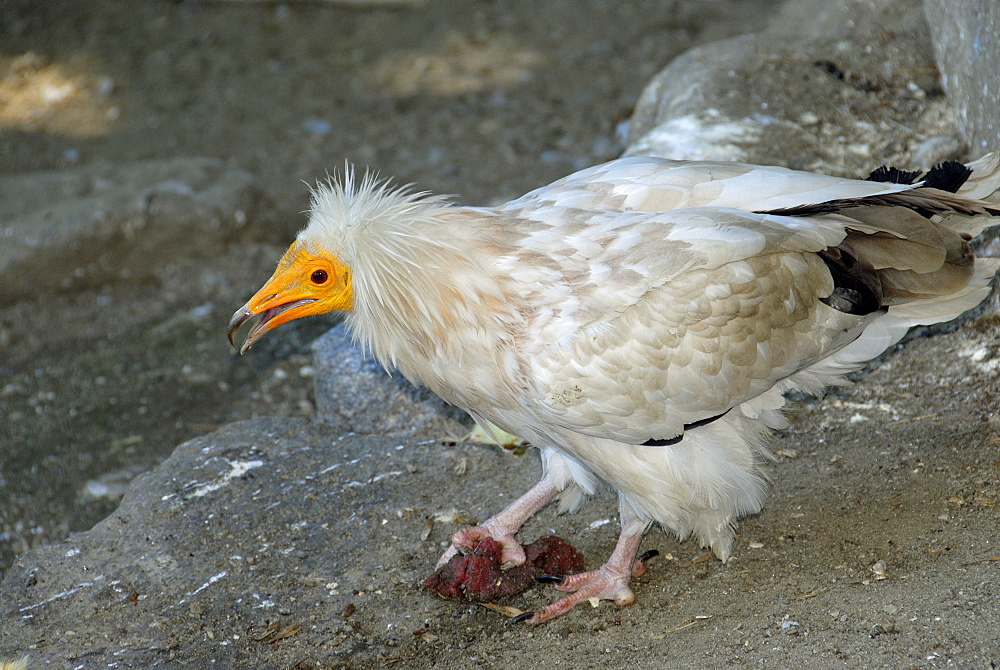 Neophron percnopterus, Egyptian Vulture Adult