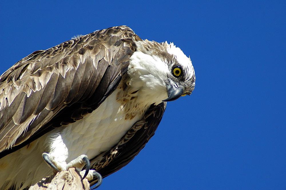 Pandion haliaetus, Osprey