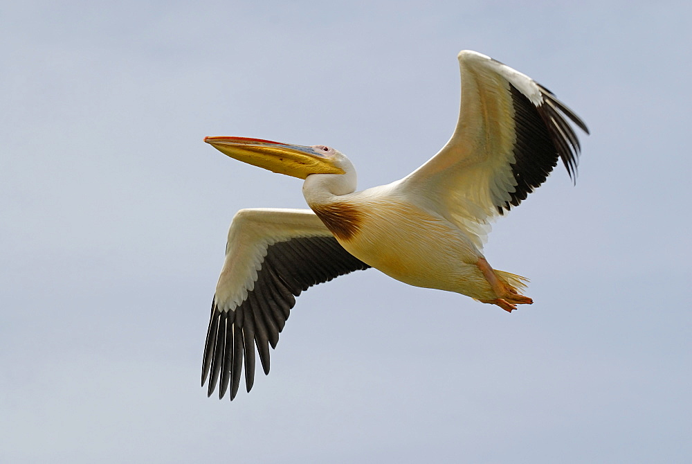 Pelecanus onocrotalus, Great White Pelican