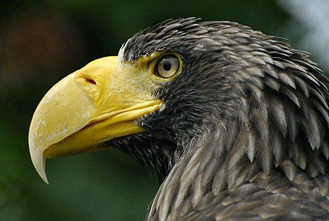 Haliaeetus pelagicus, Steller's Sea Eagle