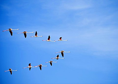 Flying flamingo, Sardinia, Italy, Europe