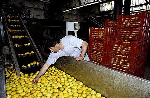 S.Gregorio, Calabria, Italy, bergamot oil processing