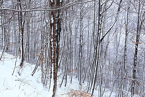 Snow in the wood, Valsassina, Lombardy, Italy