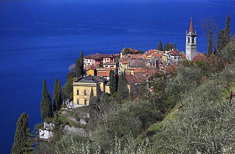 Olive tree, Varenna, Como lake, Lombardy, Italy