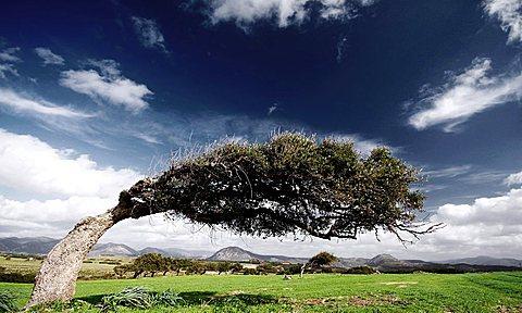 Windy trees, Sulcis, Iglesias (CI), Sardinia, Italy , Europe