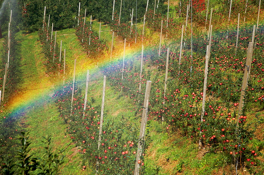 Cultivation of famous apples Stark, Valle di Non, Trentino Alto Adige, Italy, Europe