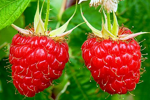 Raspberries fruits, Trentino Alto Adige, Italy, Europe