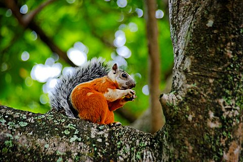Squirrel, Tamarindo, Republic of Costa Rica, Central America