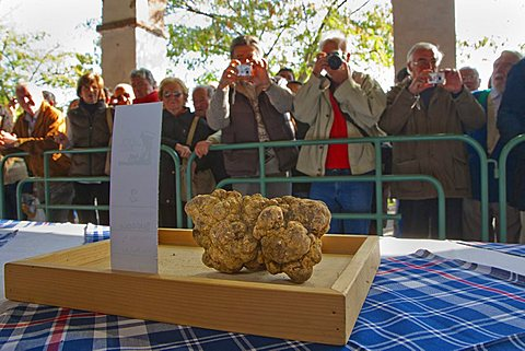 Moncalvo National  Truffle Fair, visitors taking pictures of a huge white truffle (Tuber magnatum) of the contest for the best one, Asti, Piedmont, Italy, Europe