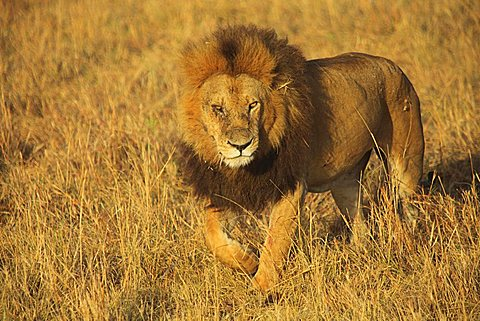 Masai Mara National Park, Kenya, Africa
